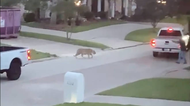 A Tiger was spotted roaming the streets of Houston, Texas, on Sunday