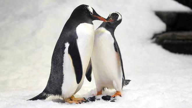 Same-sex gentoo penguin couples have formed at Sea Life London Aquarium