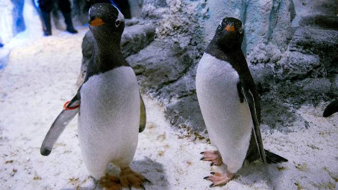 The aquarium said same-sex penguin pairings are relatively common