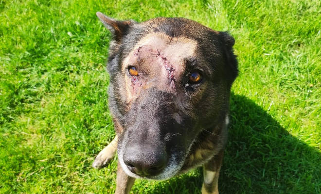 Police dog Kaiser is facing weeks off work after being stabbed multiple times