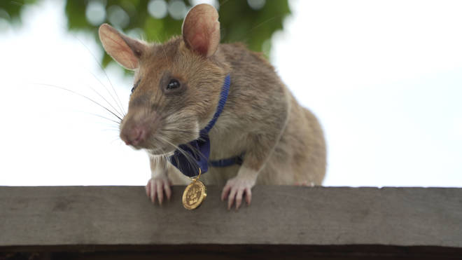 Magawa the mine sniffing rat has retired after clearing more than 141,000 square metres (1.5 million square feet) of land