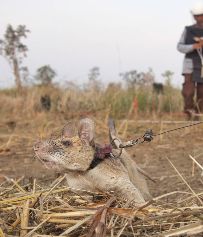 Magawa is part of a cohort of rats bred for this purpose and was born in Tanzania in 2014