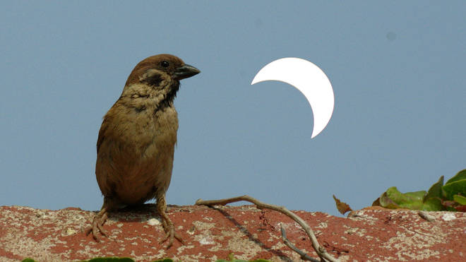 A sparrow watching a rare partial solar eclipse in China