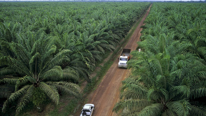 Palm oil production is responsible mass deforestation