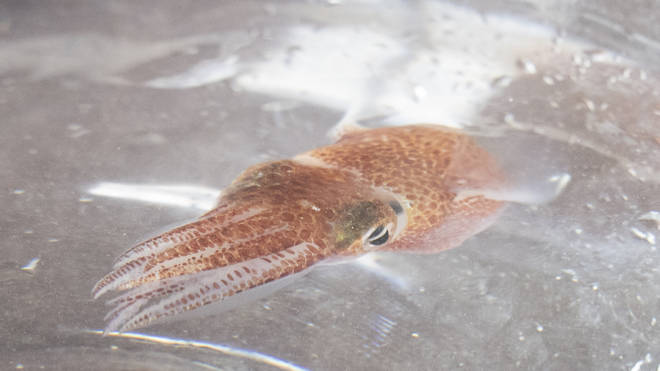A squid is shown at a lab in Honolulu
