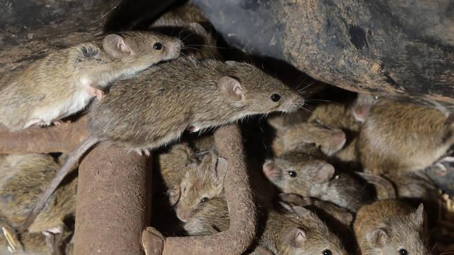 Mice plagues usually happen when rain follows several years of drought (Rick Rycroft/AP)