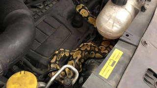 The python had gone missing two weeks earlier