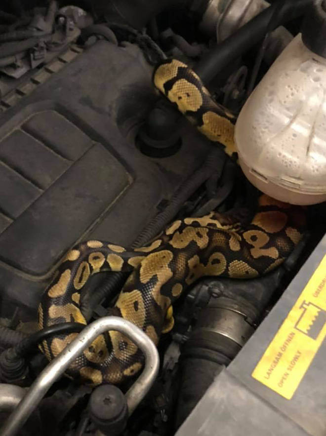 The python escaped from his snake tank and made its way under the family van's bonnet
