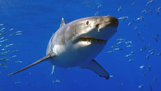 The man could have been the victim of a Great White Shark attack