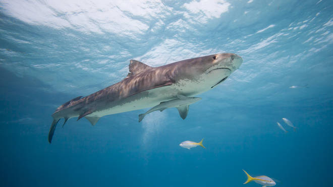The man's injuries could also have been inflicted by a tiger shark