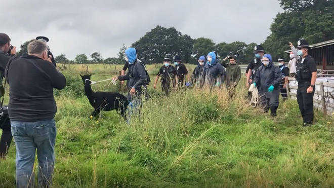 Geronimo the alpaca was seen being taken away from his pen by Defra and police officers.
