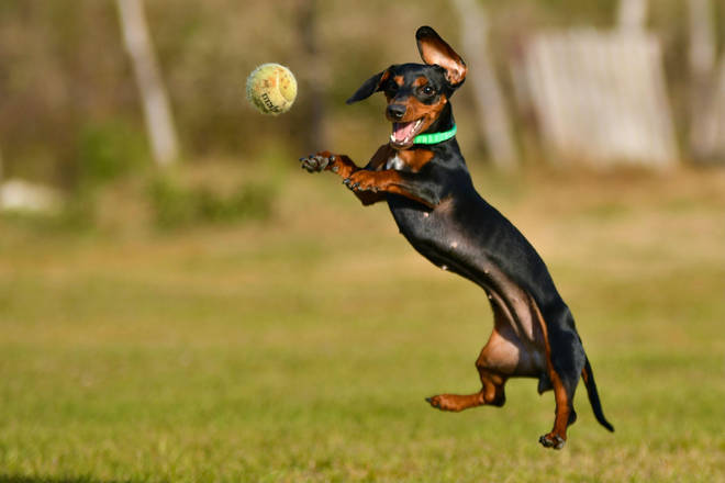 Guidance says dachshunds should not be bred with exaggerated features