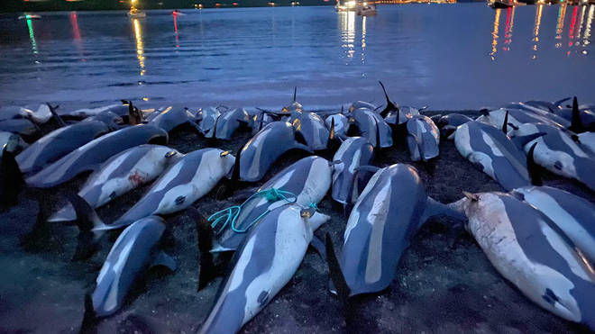 The carcasses of dead white-sided dolphins lay on a beach on the island of Eysturoy