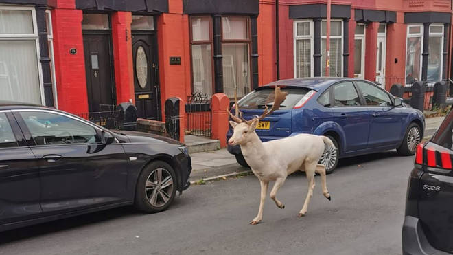 The stag was seen running through the streets.