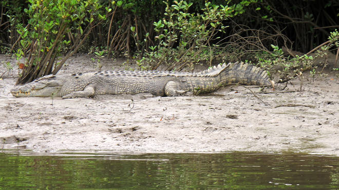 A crocodile rests on the shore along the Daintree River in Daintree, Australia (Wilson Ring/AP)