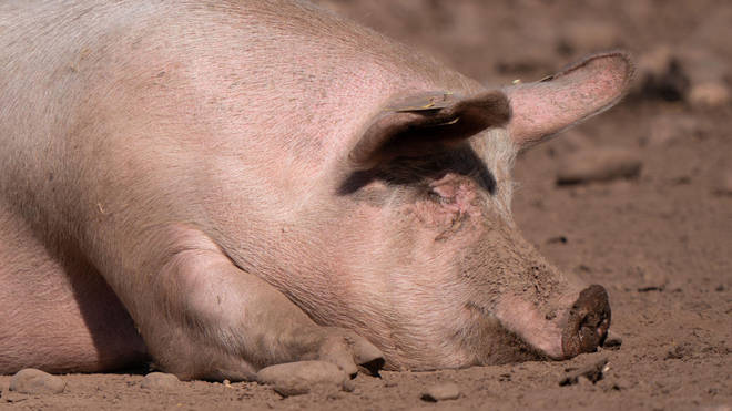 Hundreds of pigs have been culled on British farms