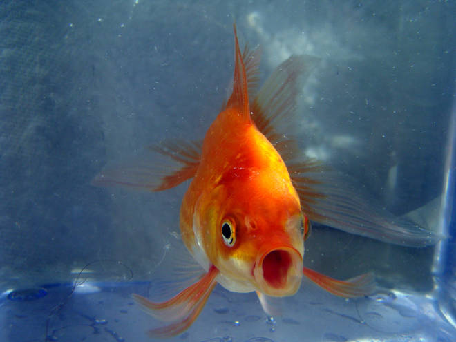 Goldfish with mouth open