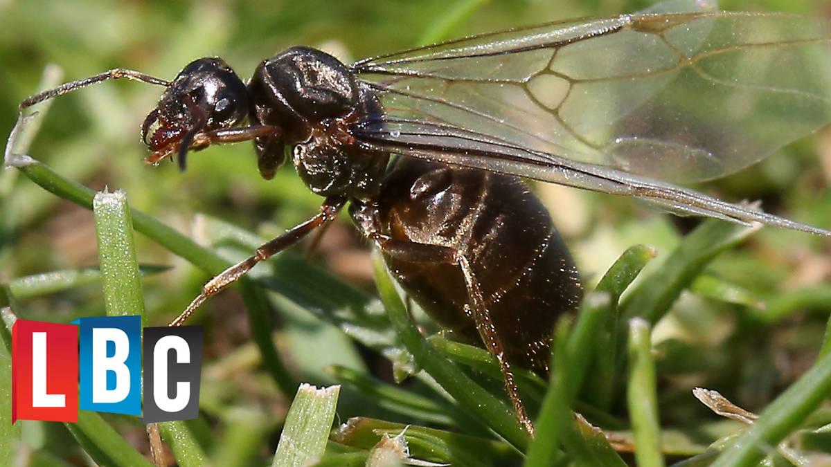 Flying Ant Day Lbc