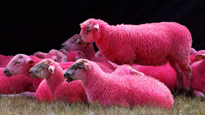 Latitude festival has been accused of cruelty over pink sheep stunt