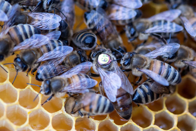 Do Bees Know That They Are Going To Die After They Sting?