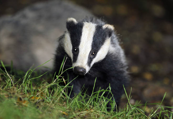 The move could result in 60,000 badgers being killed
