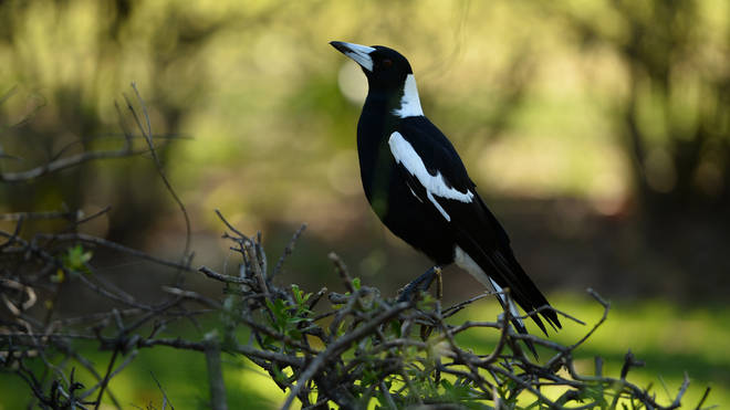 The cyclist died after swerving into a fence while distracted by a magpie