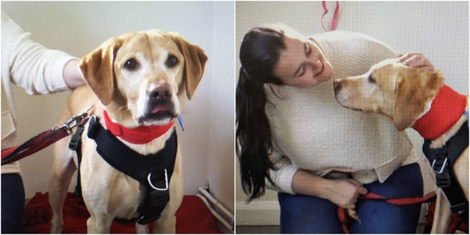 Sara's Golden Labrador retriever will give his fourth blood donation in October.