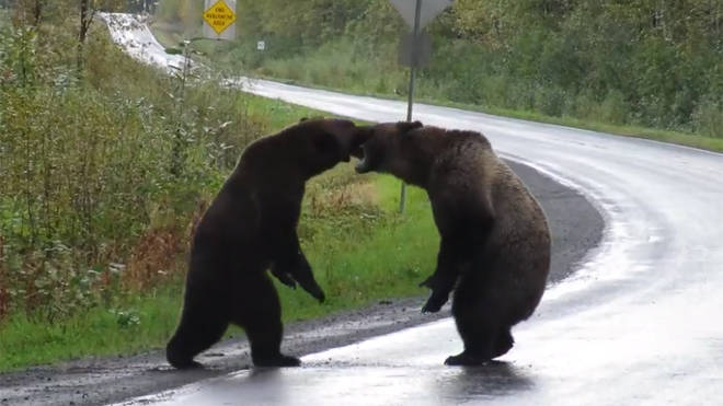 The bears were seen fighting in the middle of a highway