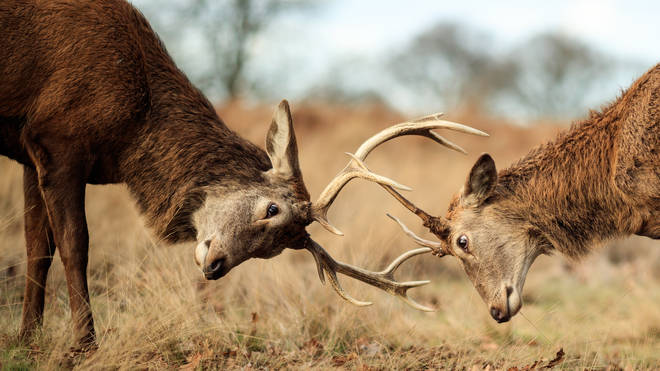 Two rutting deer lock antlers in Richmond Park