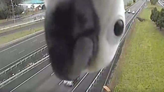 A cheeky cockatoo blocks a traffic camera in Queensland