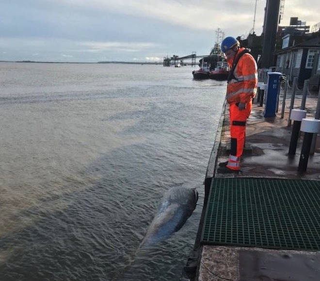 Another whale has been found dead in the River Thames