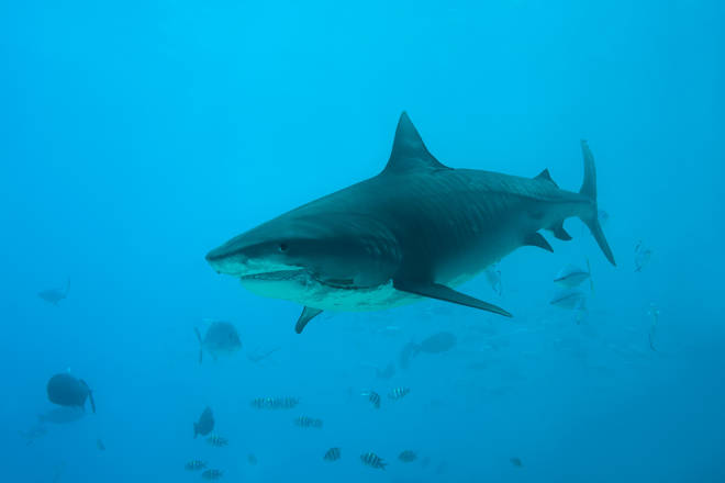The man is believed to have been killed by a Tiger shark