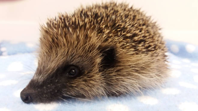 A hedgehog died after having a firework strapped to its head (File image)