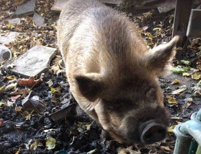 Pickle the pig was reportedly acting like a bit of a swine