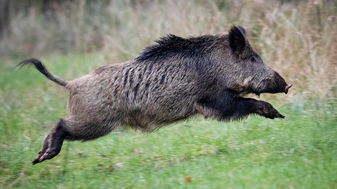 The hogs found the drugs in the Tuscan forest