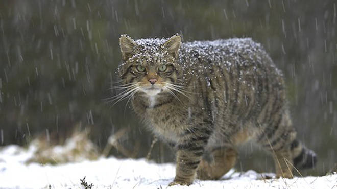 Wildcats are being released back into Scotland