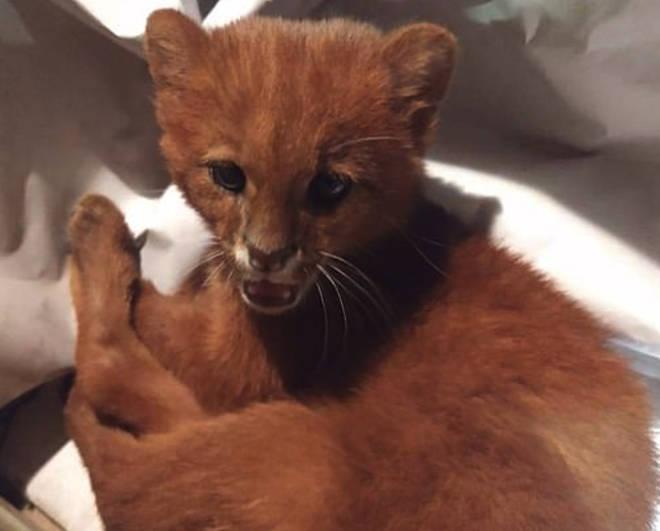 Tito is a three-month-old jaguarundi puma