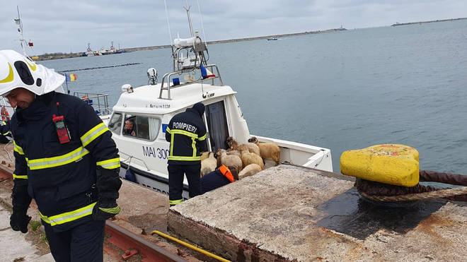 32 sheep have been recovered